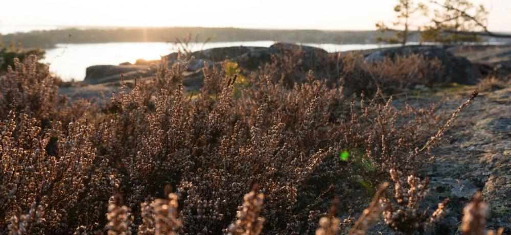 Ljung på klippa i solnedgång